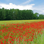 Coquelicots. thumbnail