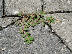 Green Through The Cracks (Mandasmac) Tags: green nature garden weeds ivy sidewalk cracks groundcover