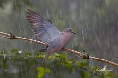 Eared Dove (Quinten Questel) Tags: trinidadandtobago eareddove forestbirds eogcalendar