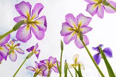 EITHER BELOW OR ABOVE IT (ajpscs) Tags: summer flower macro japan japanese tokyo nikon  nippon   koiwa  edogawa d300 shaga ayame  kakitsubata  ajpscs    hanashoubu  ichihatsu  koiwashoubuen mygearandme mygearandmepremium tokyo japan iris eitheraboveorbelowit