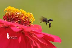 Wasp (Ringgo Gomez) Tags: 1001nights soe flickrawards malaysianphotographers sarawakborneo nikond90club niknod90 flickraward5 flickrawardgallery bestmacros