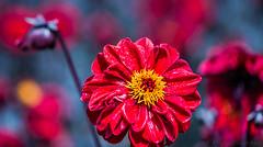 _D2A4039.jpg (luismisax) Tags: flores macro botnica macrofotografa montjic canonef100mmf28lisusm flashcanonmt24ex