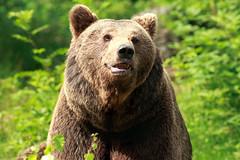 Bear (Bayerischer Wald) (Norbert Krlik) Tags: bear park brown national wald bayerischer canoneos5d canonef300mmf4lisusm