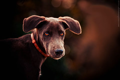 Ternura // Tenderness (Adriano Aquino) Tags: dog eye nature animal olhar looking natureza perro cachorro olho tenderness ternura concordians mygearandme adrianoaquino