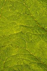Giant Rhubarb (Futzliputzli) Tags: backlight giant leaf backlit blatt giantrhubarb mammutblatt