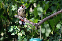 (Jenna Buller (busy)) Tags: trees birds canon eos woodpecker reserve spotted feeders lesser lesserspottedwoodpecker rspb fairburn ings fairburnings 550d rspbreserve