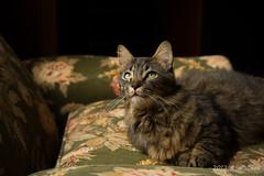 Toby (lone_tabby) Tags: pet cats pets animal animals cat tabby kitty