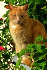 Bailey - 15 September 2013 (SKR_Photography) Tags: newzealand pets animals cat canon garden katten chat cream auckland bailey nz kitties cameo katze gatto kot furbaby downunder waitakere kissa kotka landofthelongwhitecloud pisica 2013 sx50 kowka canonsx50