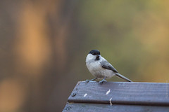 Willow Tit 2 (Wholesale of Void) Tags: autumn fall birds animals forest russia moscow wildlife urbannature forestpark moscowcity birdfeeding parusmontanus poecilemontanus