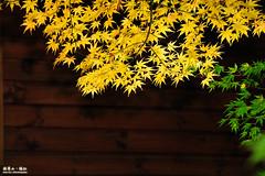(Moson Kuo) Tags: travel sunset nature beautiful photography landscapes maple nikon df glow bokeh taiwan images  taichung nikkor  nano  vr  afs  70200mm   d4 nantou   2470mm  hehuanshan   2013 28g  108k 14    fushoushanfarm 8 d700   1424mm  d800e mosonkuo