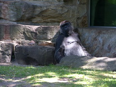 Berlin - Zoologischer Garten (Seesturm) Tags: berlin animals germany zoo tiere europa gorilla hauptstadt tiergarten zoologischergarten primaten bundeshauptstadt 2013 seesturm