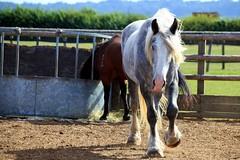 Major at the Gallop (Heaven`s Gate (John)) Tags: charity england horse nature animal grey major sanctuary stratford gallop redwings oxhill 10faves johndalkin heavensgatejohn