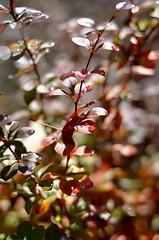After The Snow (freeatlast.52913) Tags: fall 50mm bush nikon colorful sparkle nikon5100