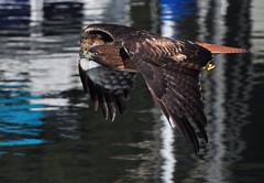 Red-tailed Hawk in flight, Bayside State Marina, SLOCO 18Nov13 BushPhoto (1) (aviac) Tags: hawk raptor morrobay redtailed redtailedhawk birdinflight morrobaystatepark stateparkmarina