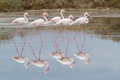 Flamingo (Phoenicopterus roseus) פלמינגו מצוי (Ron Winkler nature) Tags: flamingo israel atlit phoenicopterusroseus phoenicopterus roseus bird birdwatcher birding wildlife nature birdwatching aves birds pink reflection
