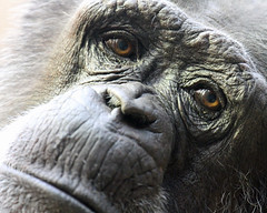 Tired eyes (Buggers1962) Tags: portrait nature face animal closeup canon zoo monkey eyes close chimp wildlife ape chimpanzee primate colchester colchesterzoo greatphotographers itsazoooutthere canon7d highqualityanimals