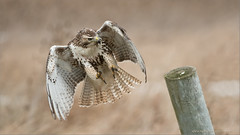 Red-tailed Hawk Landing (Raymond J Barlow) Tags: ontario canada hawk wildlife landing workshop redtailed birdinflight raymondbarlowphototours