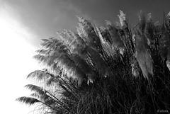 Plumeros al sol (Franco D´Albao) Tags: bw plants bush plantas bn arbusto plumeros nikond60 dalbao francodalbao