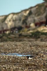 Oystercatcher in front of the cliffs. (Jim C Walker) Tags: winter beach canon feeding norfolk oystercatcher eastanglia hunstanton haematopusostralegus hunstantoncliffs sigma150500mmf563dgoshsm canoneos650d