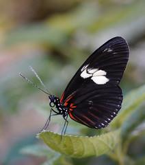 Doris Longwing 2 (foxtail_1) Tags: butterfly butterflygarden dorislongwing laparusdoris sciencemuseumofwesternvirginia