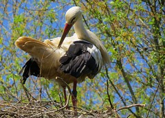 Cigogne blanche Ciconia ciconia - White Stork (Luciano 95) Tags: bird birds fauna canon switzerland searchthebest soe oiseaux birdwatcher faune naturesfinest ciconiaciconia birdphoto avianexcellence betterthangood giuss95