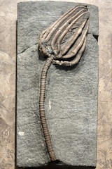 Agaricocrinites sp. fossil, McClung Museum, Knoxville, Tennessee (Chuck Sutherland) Tags: museum tn knoxville tennessee indiana knox limestone in crinoid echinodermata knoxcounty crinoidea mcclungmuseum frankhmcclungmuseum agaricocrinites edwardsvilleformation