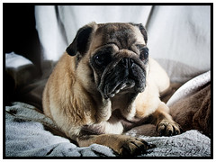 carla (cesar andres3) Tags: dogs perros carlino flickrandroidapp:filter=none