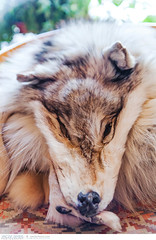 Wolf skin and head (Vincent Demers - vincentphoto.com) Tags: voyage trip travel canada animal fur dead design clothing wolf skin mort coat decoration arctic deadanimal material nordic loup tradition northwestterritories custom interiordesign décoration textured peau arctique fourrure yellowknife nordique animalskin travelphotography wolfskin coutume homeinterior photographiedevoyage animalmort animalhair designdintérieur intérieurdemaison territoiresdunordouest peaudeloup peauanimale