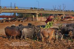 Feeding Time,   ,,,N_KH1903. (Nadeem Khawar.) Tags: pakistan feeding poor punjab bufflo gujar nadeemkhawar