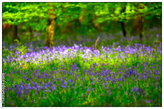 Carpet in the wood (MattSnapsPhotography) Tags: flowers blue trees wild sunlight green nature leaves bluebells forest season spring woods frame glade