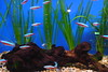11.04.14 (Dark Archive) Tags: fish aquarium neontetra project365