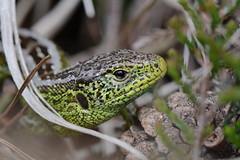 sand lizard, Purbeck (willjatkins) Tags: britishwildlife lacerta agilis sandlizard dorsetwildlife britishlizards heathlandwildlife britishamphibiansandreptiles dorsetreptiles