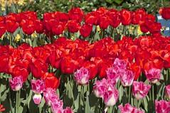 KEUKENHOF (Luz D. Montero Espuela. 2.5 million visits. Thanks) Tags: flowers red flores flower holland verde green rouge rojo flora europa europe raw tulips flor vert tulip holanda keukenhof tulipe tulipes tulipanes luzdmonteroespuela