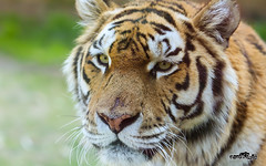Portrait - Tigre (oncle_john) Tags: animal canon zoo 5d parc tigre mk3 mark3 peaugres 5d3 onclejohn momentsdecapture
