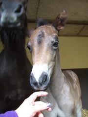 Green Cottage T? (Lebatihem) Tags: pony foal newforestpony