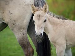 P6140039 (Dick DB) Tags: horses horse holland animal alice olympus wonderland denbosch omd paarden em1 konik omdem1 diezemonde dickbesse