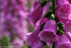 Some people see things that are and ask, Why? Some people dream of things that never were and ask, Why not? Some people.... (itucker, thanks for 4+ million views!) Tags: macro bokeh raindrops foxglove dukegardens hbw
