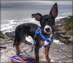 Jax (ScottElliottSmithson) Tags: dog chihuahua beach oregon canon puppy eos northwest 7d pacificnorthwest cutedog jax yaquinahead minpin yaquinaheadoutstandingnaturalarea chipin eos7d dtwpuck scottsmithson scottelliottsmithson