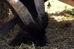Horns of the Devil (Bager) Tags: summer sun animals countryside spain farm mallorca majorca lagranja badger467
