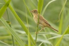 DSC_0513 Kleine Karakiet : Rousserole effarvate : Acrocephalus scirpaceus : Teich-Rohrsanger : Reed Warbler