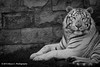DSC00466.jpg (ChrMous) Tags: animal blackwhite zwartwit bengaltiger pantheratigristigris bengaalsetijger animalportret thebestshot ongeposeerd sonyslta77 tamronspaf70200mmf28diusd