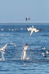 Northern Gannet / Morus bassanus (Scott Leonhart) Tags: bonaventureislandnationalpark canada northerngannetmorusbassanus perce quebec seabird