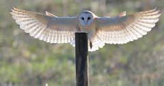 Backlit Barn Owl (KHR Images) Tags: barnowl barn owl tytoalba inflight flying landing perch wild bird birdofprey fendraytonlakes rspb cambridgeshire eastanglia nikon d500 backlit nature wildlife kevinrobson khrimages