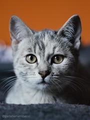 Dory (Giada Patrizi) Tags: photo cat cats kitten kitty baby eyes green grey grigio tigrato perfect beautiful awesome gatto gattino gatta gatti occhi verdi