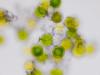 ツクシの胞子 - Spore of Horsetail (ozuma.) Tags: microscope spore microscopy horsetail micrograph ツクシ 顕微鏡 スギナ 胞子