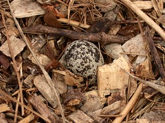 Kildeer Egg (Really Small Farm) Tags: bird minnesota egg may birdnest kildeer wildbird