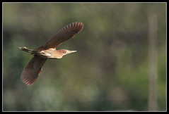 Cinnamon Bittern (Gerald Yuvallos) Tags: bird nature birds canon cinnamon philippines flight 300mm 7d cebu bittern 2x 28is istoryanet fafagraphy