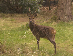 Roe Deer (adrianprice74) Tags: male animal forest spring wildlife british longleat roedeer