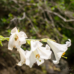 Lilium candidum- Israel 2013 (TOmShAhaR_PhOTo_) Tags: winter white flower 35mm israel nikon lily madonna may carmel lilium northen candidum 2013 f18g d5100 052013