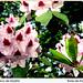 flores de rhododendron